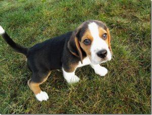 cамые недорогие породы собак