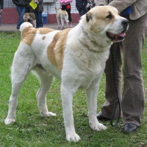 алабай собака большая