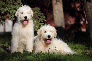 южнорусская овчарка собака