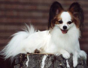 папильон породистая собака