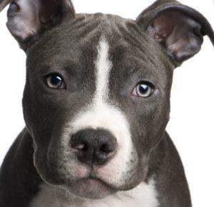 характер собаки питбуль