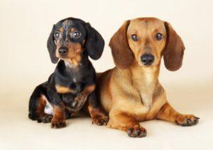 две собаки таксы