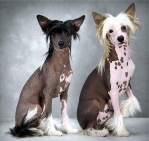 две китайские хохлатые собаки