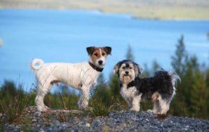 предотвращение спаривания собак