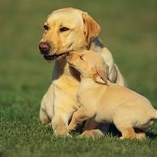 первая беременность собаки