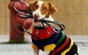 особенности выгула собак