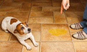 советы по приобщению к туалету щенка