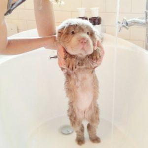 купание собаки шарпей