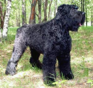 порода русский черный терьер