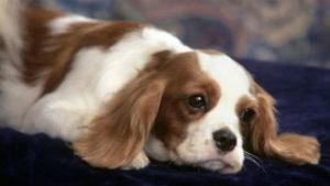 варианты породистых собак