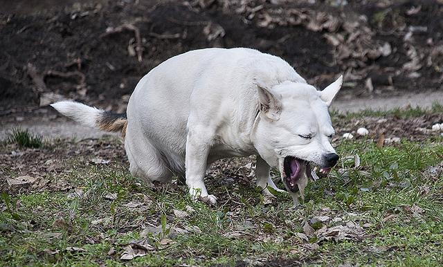 собака ест траву и ее рвет подборка