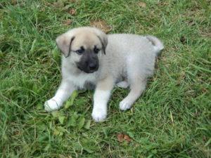 определение породы щенка