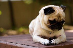 как ухаживать за щенком мопса