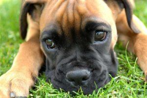 красивая собака породы боксер