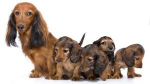 такса с щенками