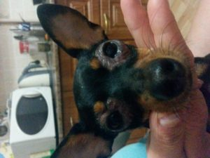 стафилококк глаз у собаки