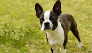 бостон терьер маленькая собака