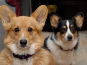 корги порода собак содержание