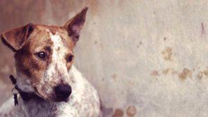 кожная чумка у собак