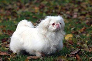 характер пса пекинеса