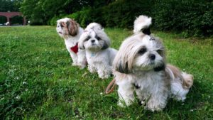 собаки шит-цу