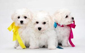 клички на букву р для маленьких собак