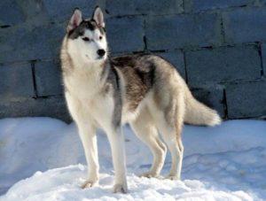 сибирские хаски – прямые потомки северных собак