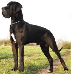 порода собак немецкий дог