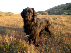 характеристика породы собак ньюфаундленд
