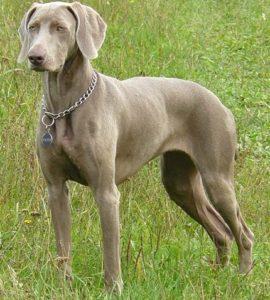 веймаранер собака