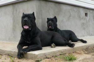 две собаки кане-корсо