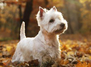 вест хайлендуайт терьер порода собак