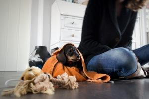 такса кроличья щенок