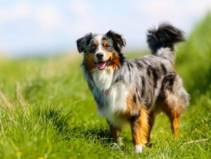 преимущество собак средних пород