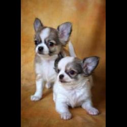 две собачки чихуахуа