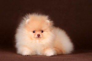 щенок шпиц