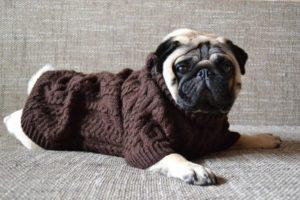 свитер для мопса