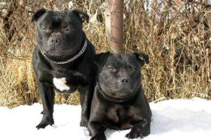 популярные бойцовые породы собак