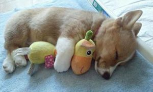 корги щенок маленький