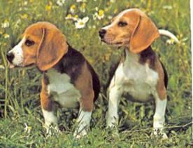 популярные охотничьи собаки