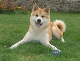 собака акиту-ину