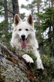 собаки породы белая швейцарская овчарка