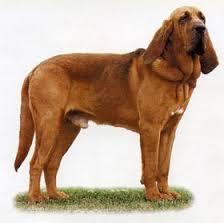 собаки породы бладхаунд