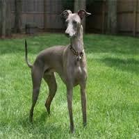 собаки породы левретка