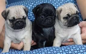 три щенка мопса