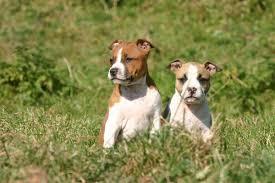 уход за щенками стаффордширского терьера
