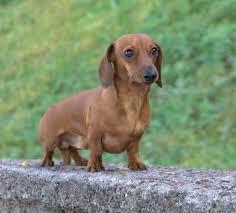 порода собак карликовая такса
