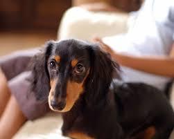 как подготовиться к прибытию щенка таксы в дом