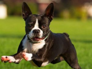 бостон терьер порода собак