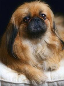 стандарт собаки пекинес